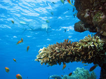 Cena coral fotografia de stock