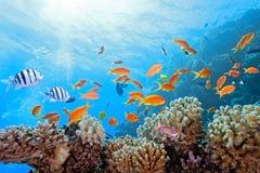 Cena coral no recife Fotografia de Stock