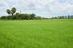Cena da árvore verde do campo e de coco do arroz imagem de stock
