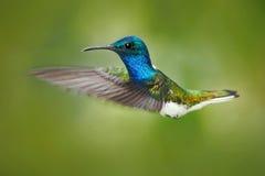 Cena da ação da natureza, colibri na mosca Colibri na floresta que voa o colibri azul e branco Jacobin Branco-necked H Fotografia de Stock Royalty Free