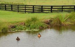 Cena da exploração agrícola - patos que flutuam em uma lagoa Imagem de Stock