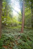 Cena da floresta Imagem de Stock Royalty Free