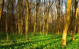 Cena da floresta Imagem de Stock