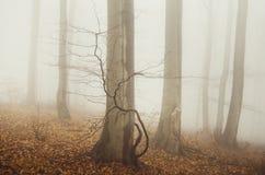 Cena da floresta do outono com névoa através das árvores Fotografia de Stock