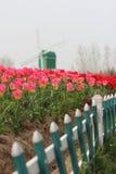 Cena da Holanda - tulipas e moinho de vento Fotos de Stock Royalty Free