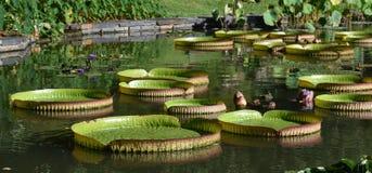 Cena da lagoa do jardim com gigante Lily Pads Imagens de Stock Royalty Free