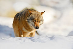 Cena da natureza do inverno com lobo Lobo cinzento, lúpus de Canis, encontrando-se no branco durante o inverno Animais selvagens  Imagens de Stock
