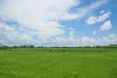 Cena da palmeira verde do campo e do coco do arroz no fundo do céu azul fotos de stock