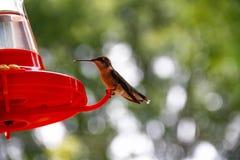 Cena del colibrí fotos de archivo libres de regalías