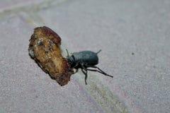 Cena del escarabajo Fotografía de archivo