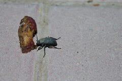 Cena del escarabajo Fotografía de archivo libre de regalías