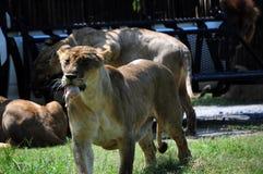 Cena della leonessa Immagine Stock