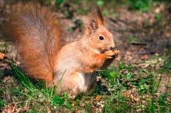 Cena dello scoiattolo Immagine Stock Libera da Diritti