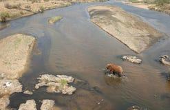 Cena do elefante africano e do rio. fotos de stock