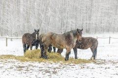 Cena do inverno com os cavalos que estão em um campo na neve ao comer o feno foto de stock royalty free