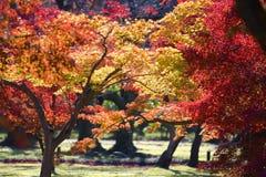Cena do outono com o bordo vermelho da queda fotografia de stock
