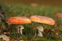 Cena do outono: dois toadstools foto de stock royalty free