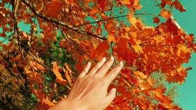 Cena do outono Mão que toca nas folhas de bordo vermelhas do outono com feixe do sol sobre o movimento lento borrado do pov do po filme