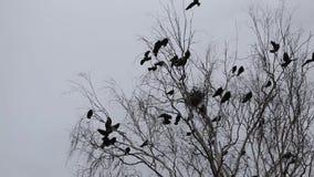 cena do outono, silhueta dos corvos que voam em torno dos ninhos video estoque