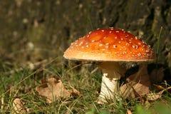 Cena do outono: toadstool fotografia de stock