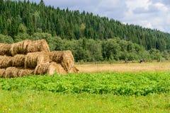 Cena do pasto com rolos do feno, vacas e planta de batata em do norte Fotografia de Stock Royalty Free