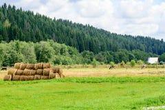 Cena do pasto com rolos do feno, vacas e planta de batata em do norte Foto de Stock Royalty Free