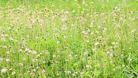 A cena do verão de gramas selvagens floresce ou procumbens de Tridax que funde no vento video estoque