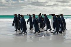 Cena dos animais selvagens da natureza selvagem Grupo de pinguins de rei, patagonicus do Aptenodytes, indo da areia branca ao mar Imagem de Stock Royalty Free
