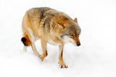 Cena dos animais selvagens do inverno da natureza inverno da neve com lobo Lobo cinzento, lúpus de Canis, retrato com a língua pa Fotografia de Stock Royalty Free