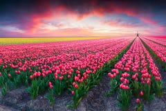 Cena dramática da mola na exploração agrícola da tulipa fotografia de stock