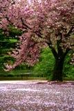 Cena incrível - neve da flor de cereja foto de stock royalty free