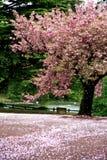 Cena incrível - neve da flor de cereja imagem de stock
