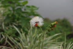 Cena magnífica da natureza Flor de lãs em Sri Lanka imagens de stock