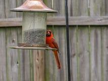 Cena mangiante cardinale rossa ad un alimentatore del cortile immagini stock libere da diritti