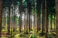 Cena retroiluminada da floresta com os pinheiros durante a luz solar da noite atrasada imagens de stock royalty free