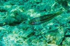 A cena subaquática com recife de corais e peixes fotografou na água pouco profunda, Mar Vermelho, Egito Fotografia de Stock Royalty Free