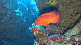 Cena tropical do recife de corais com garoupa coral e glassfish na caverna filme