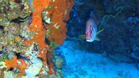 Cena tropical do recife de corais com o squirrelfish gigante em corais duros filme