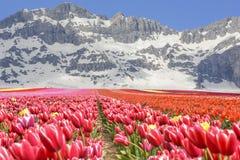 cenas do cultivo e da mola da tulipa Imagens de Stock