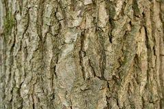 Cendre d'écorce d'arbre d'Aspen, plan rapproché de fond de texture Vieille écorce d'arbre de Brown avec de nombreux sillons photographie stock libre de droits