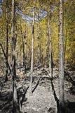 Cendre dans la verticale en bois avec le ciel Images libres de droits