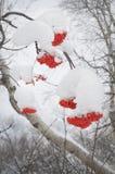 Cendre de montagne Photo libre de droits