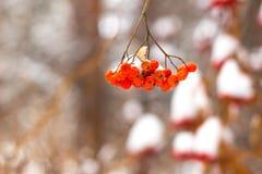 Cendre de montagne dans la neige Photo libre de droits