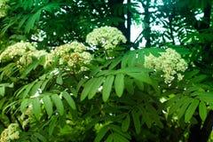 Cendre de montagne de floraison en parc Photo stock