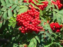 Cenere di montagna, albero con le bacche mature, macro, fuoco selettivo, DOF basso del Sorbus o della sorba Immagine Stock