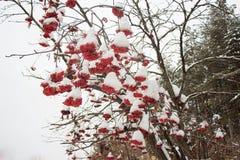 Cenere di montagna dei rami coperta di neve e di brina immagine stock libera da diritti