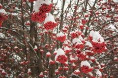 Cenere di montagna dei rami coperta di neve e di brina immagine stock