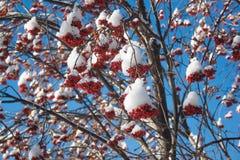 Cenere di montagna dei rami coperta di neve e di pezzi di ghiaccio immagini stock libere da diritti