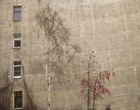 Cenere di montagna e della betulla sui precedenti Fotografia Stock Libera da Diritti