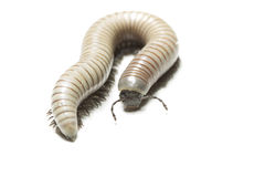 Cenipede Стоковое фото RF